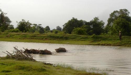Water buffalo invasion ...